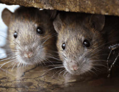 Rodent Control | Axholme Pest Control